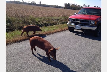 Escaped pigs on Woodland Drive in Isle of Wight