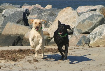 Dogs running on Yorktown Beach