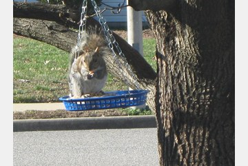 very athletic squirrel!  Sharing the SUET with the birds....was rewarded with a Pecan !