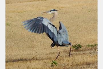 Seaford Heron