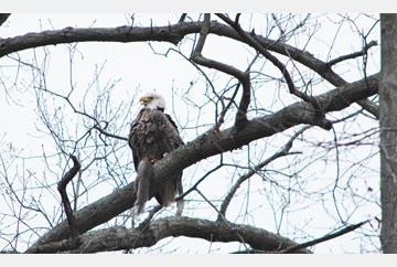 Bald Eagle in Willow Oaks