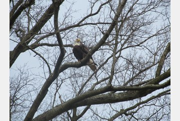 Bald Eagle in Hampton, VA