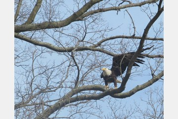 Bald Eagle settling in to eat a fish in Hampton
