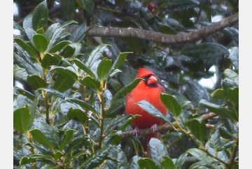 Red Cardinal in a green tree