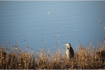 Heron enjoys morning sun
