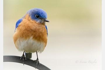 Bluebird Heaven