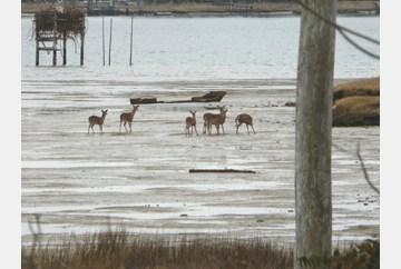 Deer with rusting metal boat behind them