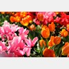 tulips, orchids, Lewis Ginter, garden, flower