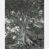 tree,causey,beech